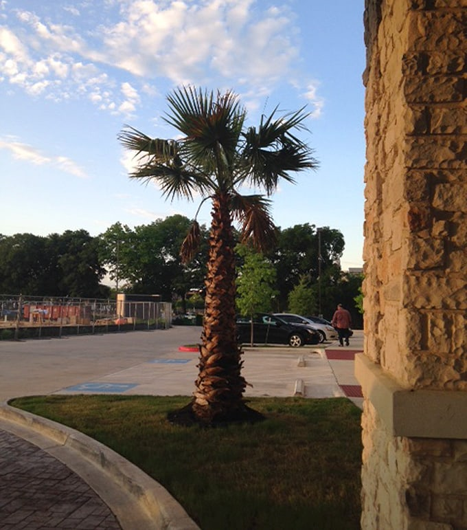 Austin-palm-tree